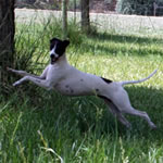 """About Time's Miss Julia"" Seal Pied Italian Greyhound Female"