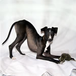 """About Time for Chocolate"" Seal Italian Greyhound Female"