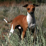 """About Time's SpytFire"" Red Irish Italian Greyhound Male"
