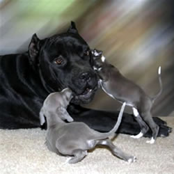 Cane Corso with Italian Greyhound Puppies